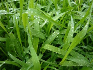 Tau auf Gras