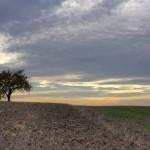 Einsamer Baum am Feldrand