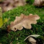 Herbstblatt auf Moos