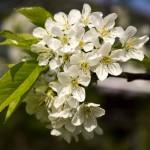 Bildnummer 00077 - Kirschblüten
