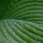 Bildnummer: 00008 - Regentropfen auf dem Blatt