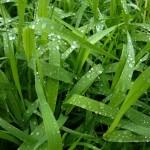 Bildnummer: 00007 - Regentropfen auf Gras