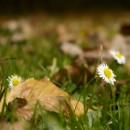 Gänseblümchen versteckt sich